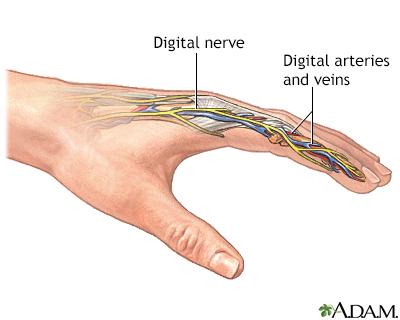 Finger digits anatomy
