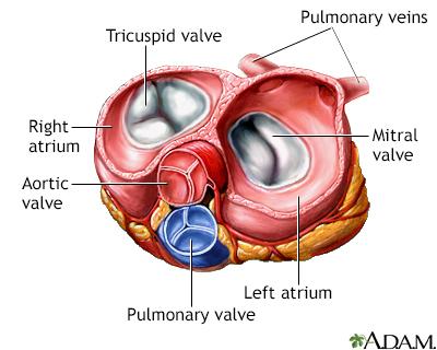 Heart valves - superior view - Penn State Hershey Medical Center