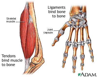 Tendon vs. ligament