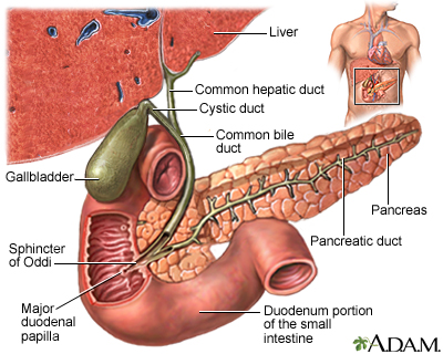Gallstones and gallbladder disease penn state hershey medical center most flows into the gallbladder through the cystic duct which is a side branch off the common bile duct ccuart