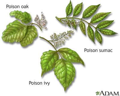 Poison Ivy Poison Oak Poison Sumac Penn State Hershey