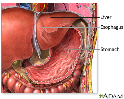 digestive system information, Human Body